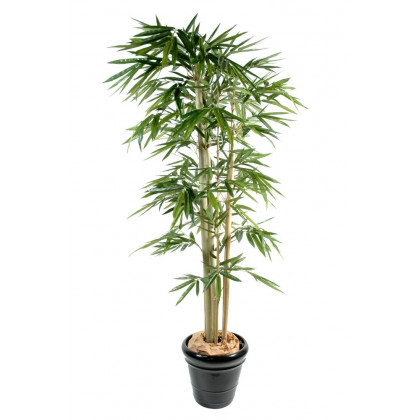 Bambou Larges Feuilles Semi-Naturel