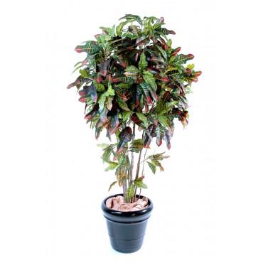Croton Semi-Naturel