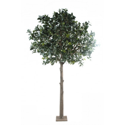 Arbre Camellia du Japon Semi-Naturel
