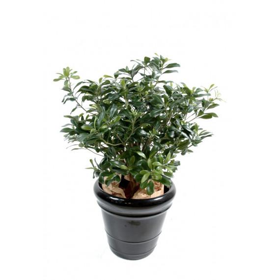 Pittosporum Buisson Semi-Naturel