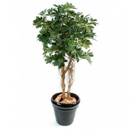 Schefflera Sur tige Semi-Naturel - Vert