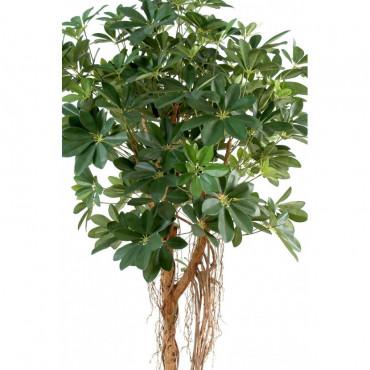 Schefflera Sur tige Semi-Naturel - Vert/Jaune