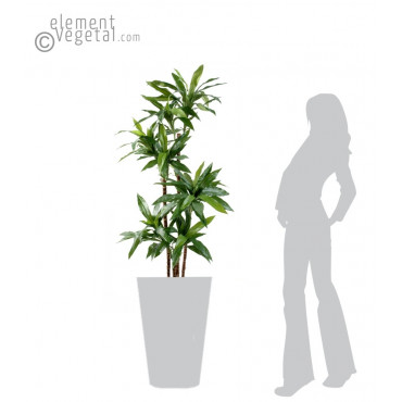Dracena Fragans Janet Craig Semi-Naturel - Ht 145 cm