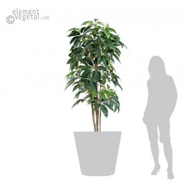 Schefflera Amata Semi-Naturel - Ht 180 cm