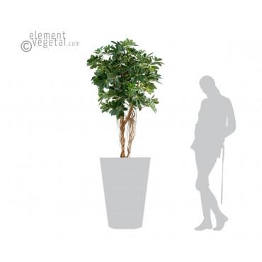 Schefflera Sur tige Semi-Naturel - Vert - Ht 150 cm