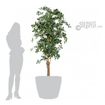 Ficus Oriental Tronc Noueux Semi-Naturel - Ht 180 cm