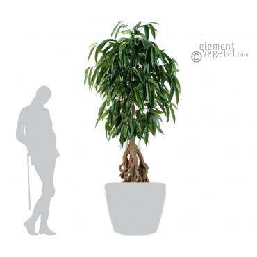 Ficus Longifolia Racine Apparente Artificiel - Ht 180 cm