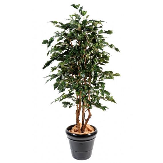 Ficus Exotica Semi-Naturel