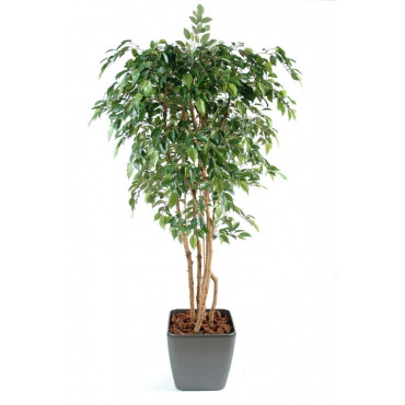 Ficus Lianes Grandes Feuilles Semi-Naturel En Pot Carré - Ht 180 cm
