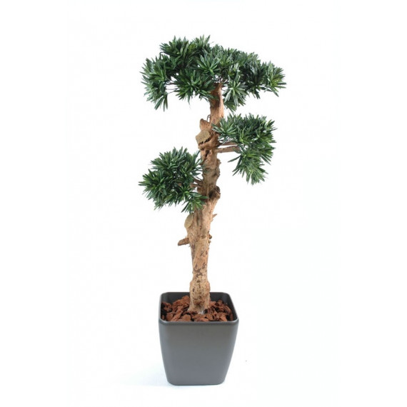 Podocarpus Nuage Semi-Natruel En Pot Carré - Ht 150 cm