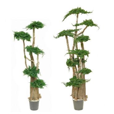 Arbre Bonsaï Juniperus Stabilisé Famille