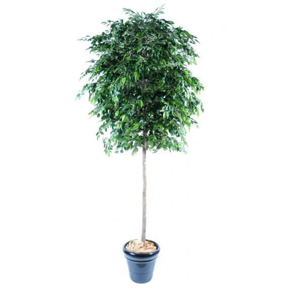 Arbre Ficus Natasja Semi-Naturel