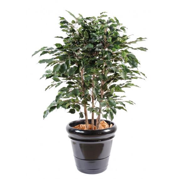Ficus Exotica Buisson Semi-Naturel
