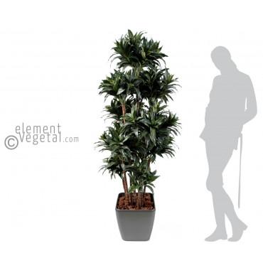 Dracena Fragans Semi-Naturel En Pot Carré - Ht 160 cm