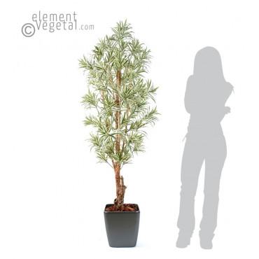 Dracena Reflexa Semi-Naturel En Pot Carré - Ht 180 cm