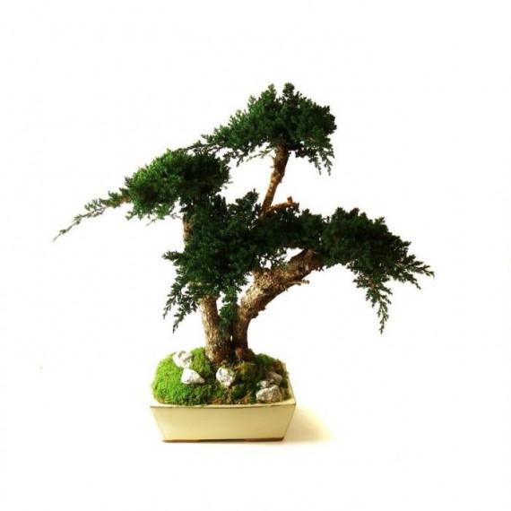 Bonsaï Juniperus Stabilisé Moyen