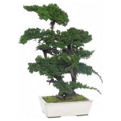 Bonsaï Juniperus Stabilisé Grand