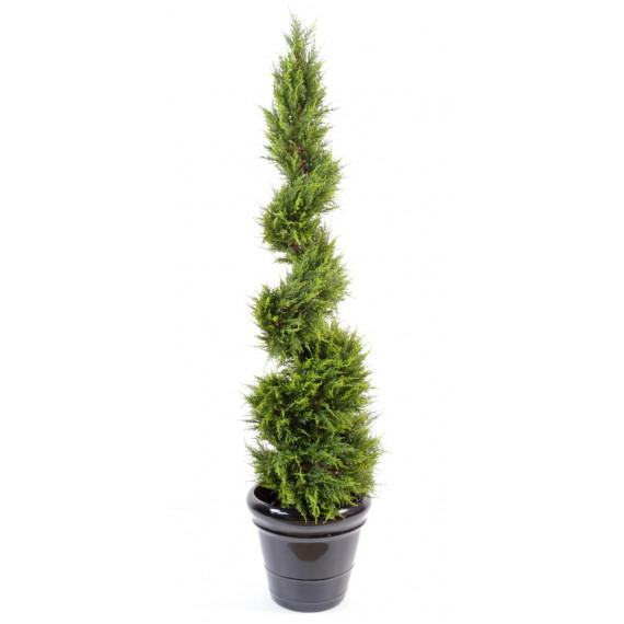 Cyprès de Juniperus en Spirale Fine Semi-Naturel