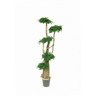 Arbre Bonsaï Juniperus Stabilisé Ht 160 cm