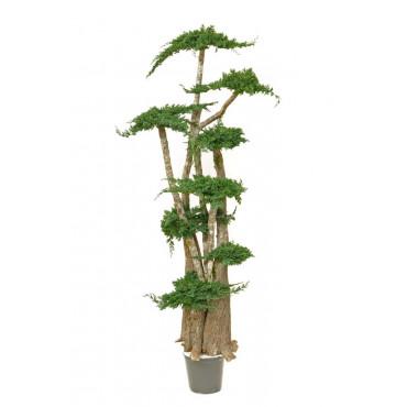 Arbre Bonsaï Juniperus Stabilisé Ht 190 cm