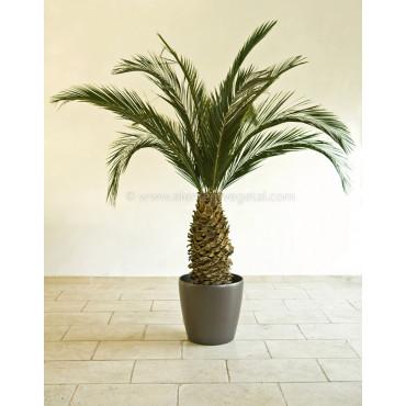 Palmier Phoenix Ananas Stabilisé - En Contexte