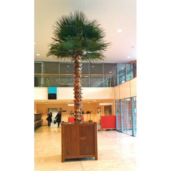 Palmier Washingtonia Géant Stabilisé