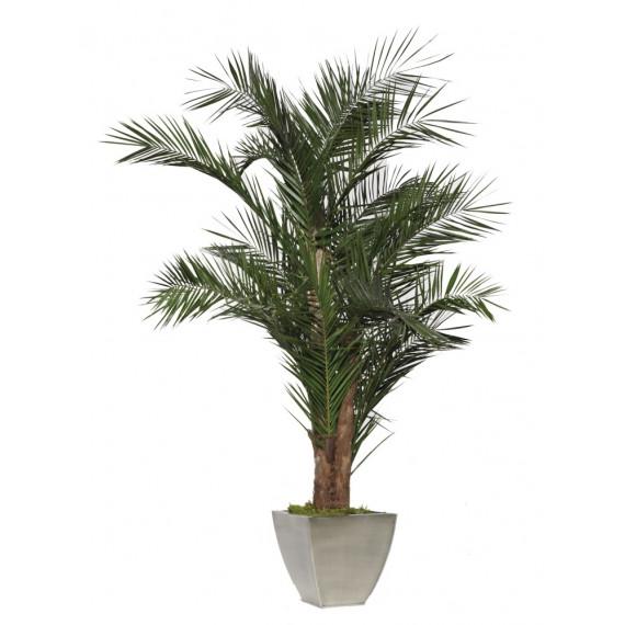 Palmier Kentia Stabilisé - Ht 240 cm