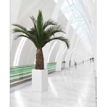 Palmier Phoenix Ananas Stabilisé en contexte