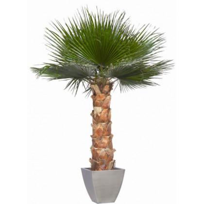 Palmier Washingtonia Stabilisé 190 cm