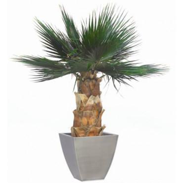 Palmier Washingtonia Stabilisé 140 cm