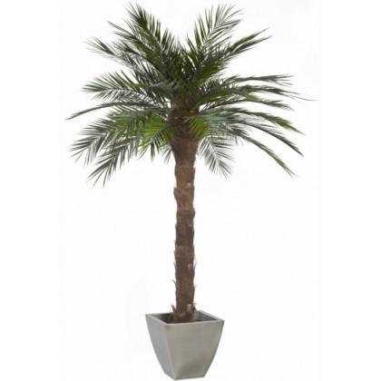 Palmier Phoenix Stabilisé 240 cm
