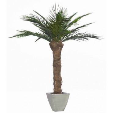 Palmier Phoenix Stabilisé 180 cm