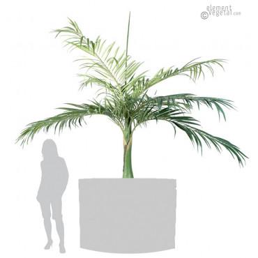 Palmier Bouteille Artificiel 350 cm
