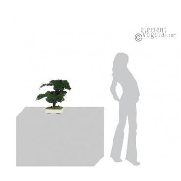 Bonsaï Juniperus Stabilisé Moyen 50 cm