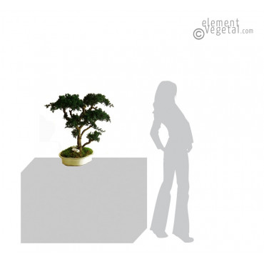 Bonsaï Juniperus Stabilisé Grand 70 cm