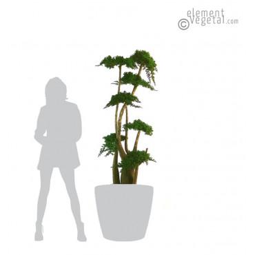 Arbre Bonsaï Juniperus Stabilisé 190 cm