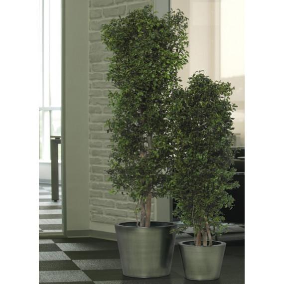 Pittosporum Stabilisé - Vert