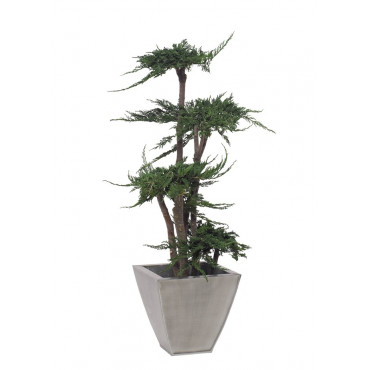 Arbre Bonsaï Juniperus Stabilisé Ht 100 cm
