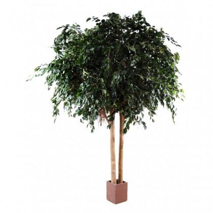 Ficus Exotica Géant Semi-Naturel