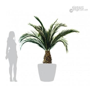 Palmier Phoenix Ananas Stabilisé 230 cm