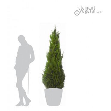 Thuya Stabilisé 160 cm