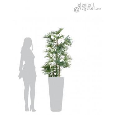 Livistonia Semi-Naturel 140 cm