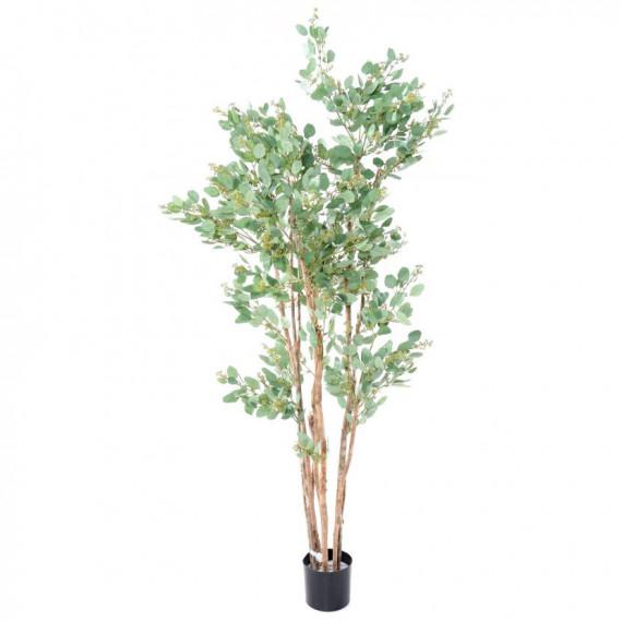 Eucalyptus Semi-Naturel