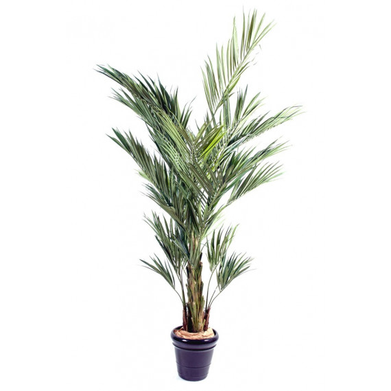 Palmier Kentia Royal Semi-Naturel