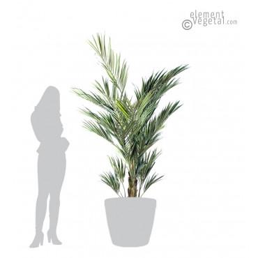 Palmier Kentia Royal Semi-Naturel 220 cm