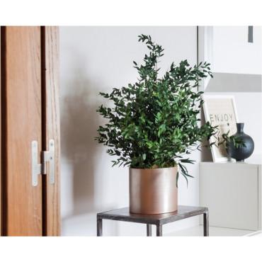Plante Parvafolia