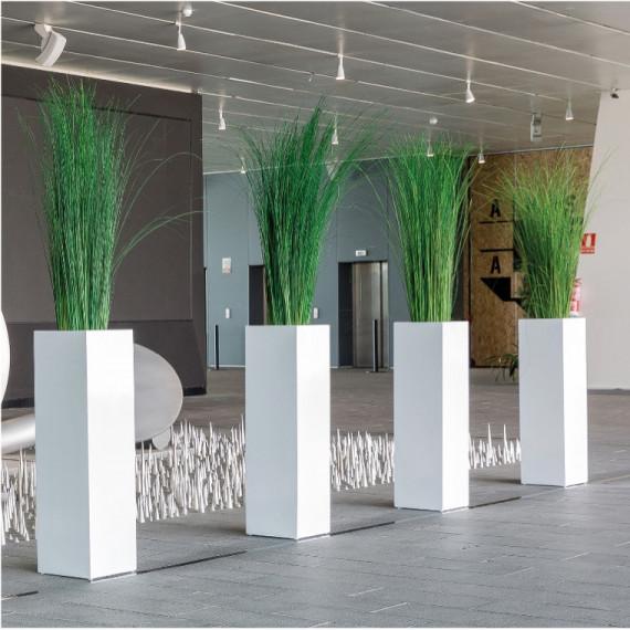 Plante Ginerium