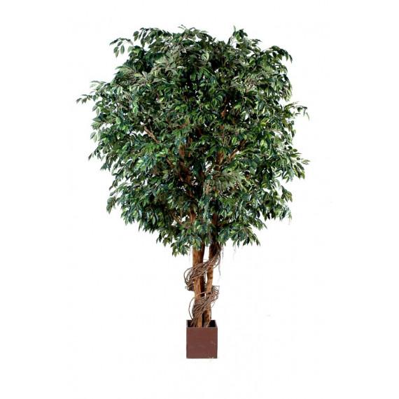 Ficus Géant Semi-Naturel
