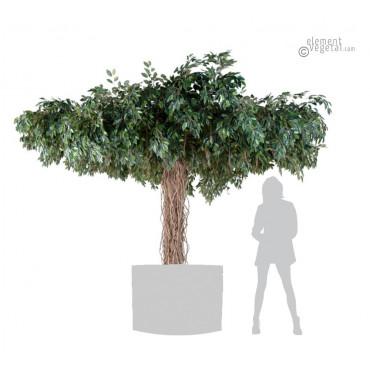 Ficus Parasol Semi-Naturel 320 cm