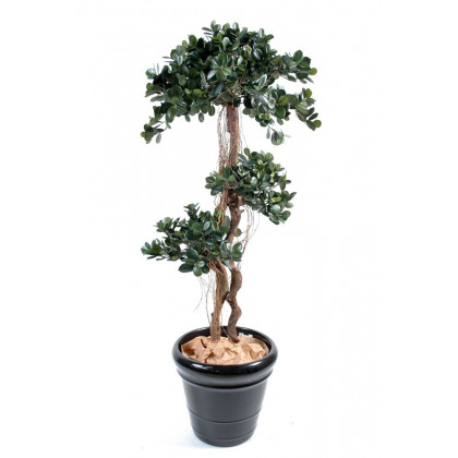 Ficus Panda Semi-Naturel